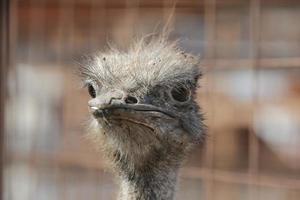 avestruz. foto