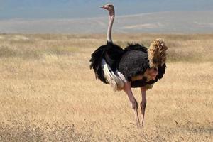 avestruz masculino olhando ao redor foto