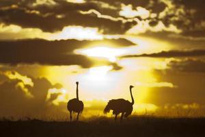 avestruzes em silhueta ao sol, masai mara, quênia