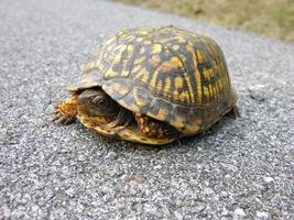 travessia de tartaruga foto