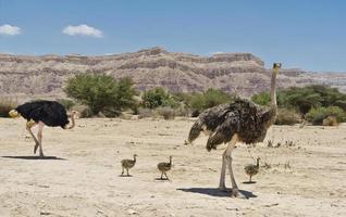 par de avestruzes africanas com filhotes jovens foto
