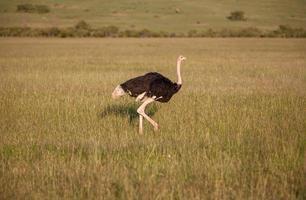 avestruz andando na savana na África. safári. Quênia foto