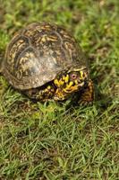 tartaruga de caixa masculina de Alabama - terrapene carolina foto