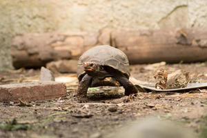 tartaruga de patas vermelhas