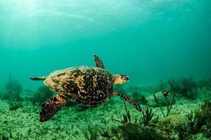 tartaruga do mar do caribe foto