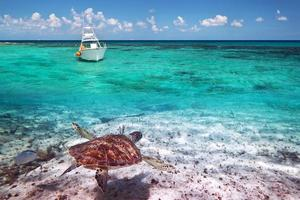 paisagem do mar do Caribe com tartaruga verde