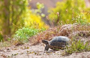 tartaruga em um ambiente natural. foto