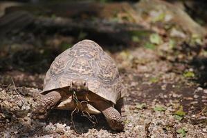 tartaruga em ação foto