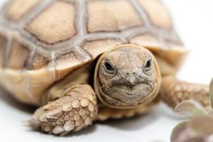 tartaruga de esporas africanas (sulcata) foto