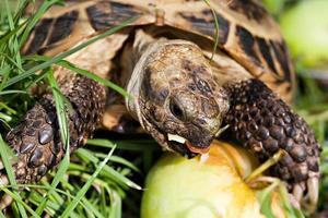 tartaruga comendo maçã foto