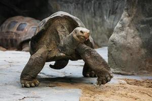 tartaruga gigante de aldabra (aldabrachelys gigantea) foto