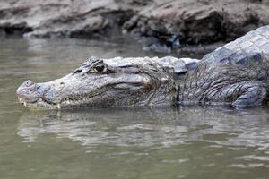 Caimão na Costa Rica. cabeça de um close de crocodilo. кайман foto