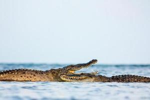 crocodilo americano foto