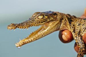 bebê crocodilo foto