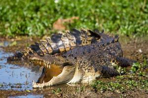 crocodilo australiano de água salgada foto