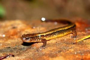 salamandra do sul com duas linhas (Eurycea cirrigera) foto