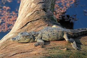 bebê crocodilo tomando banho de sol foto