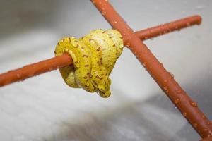 morelia viridis bebê foto