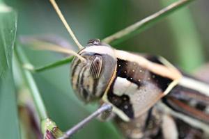 macro de gafanhoto marrom empoleirado na folha. foto