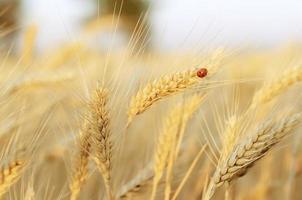 joaninha e campo de trigo