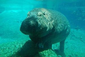 hipopótamo subaquático foto