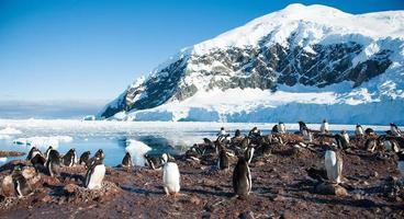 pinguins gentoo perto da montanha foto