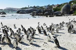 pinguins africanos na praia de pedregulhos foto