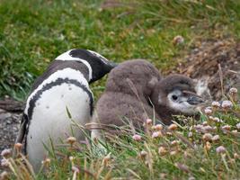 mãe e filhos de pinguim de magalhães (terra do fogo) foto
