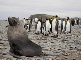 pinguins rei no sul da Geórgia Antártica foto