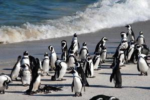 pinguins africanos na praia de boulder (áfrica do sul) foto
