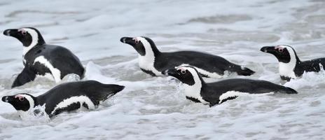 pinguins africanos. foto