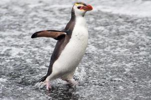 pinguim real, baía arenosa, ilha macquarie foto