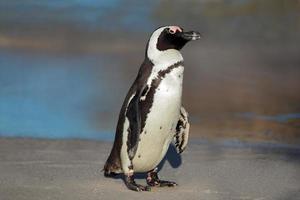 pinguim africano foto