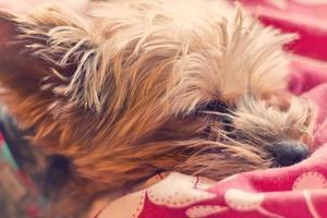 yorkie terrier dormindo foto