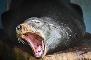 Leão marinho foto