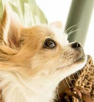 chihuahua de cabelos compridos enrolado olhando para cima