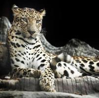leopardo deitado foto