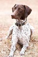 cão ponteiro de cabelos curtos alemão sentado no campo foto