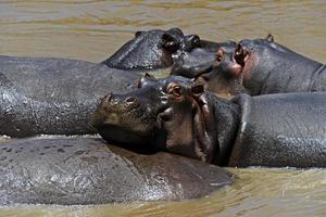 hipopótamo africano foto