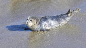 filhote de cachorro de foca em la jolla foto