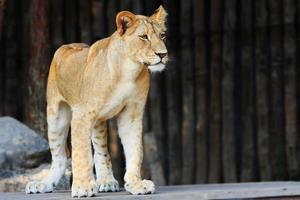 filhote de leão branco foto