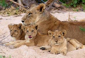 mãe e filhotes da série # 1 do leão da África do Sul foto