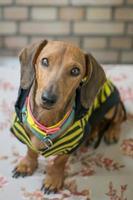 dachshund foto