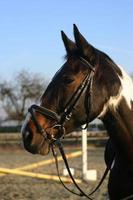 cavalo estilo inglês. foto