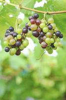 uva vermelha e uva verde