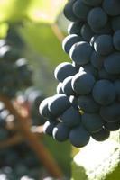 uvas vermelhas em vinhedo