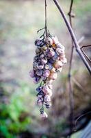 uvas secas no galho