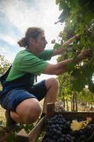 agricultor que colhe uvas foto