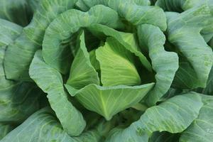 repolho vegetal foto