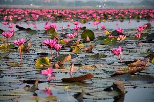 o mar de lótus rosa, tailândia